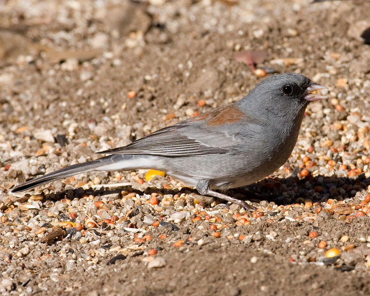 Grey-headed Dark Eyed Junco
