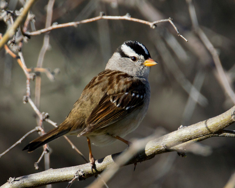White-crowned Sparrow (Zonotrichia leucophrys) along Verde River in Arizona. April 7, 2011
