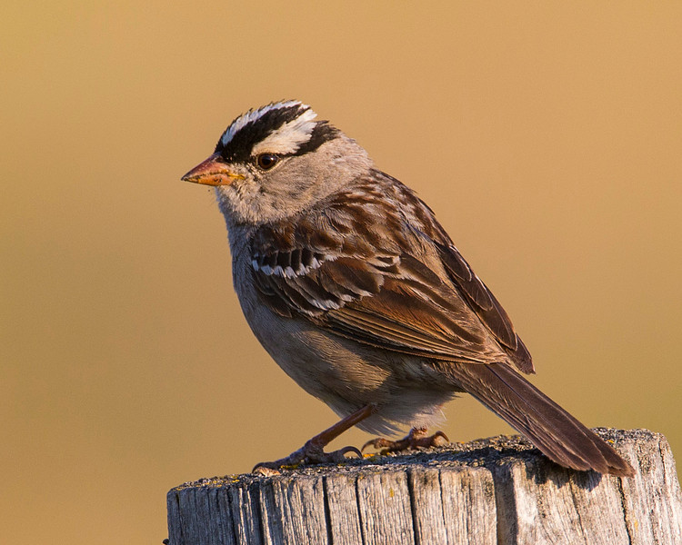 White-crowned Sparrow, Red Rock Road. July 2013