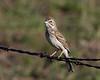 Vesper Sparrow, Island Park, Idaho May 22, 2009