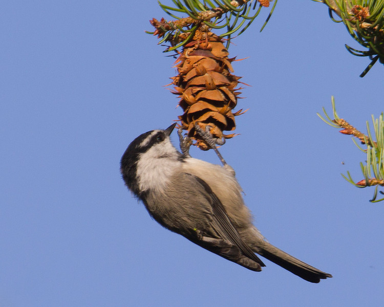 This Mountain Chickadee was hanging on a Douglas Fir cone pulling out the seeds in the Targhee National Forest, near Island Park, ID. Sep 8, 2012.