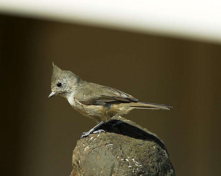 Oak Titmouse sits pensively on a rock near the Russian River, Cloverdale, CA September 2006