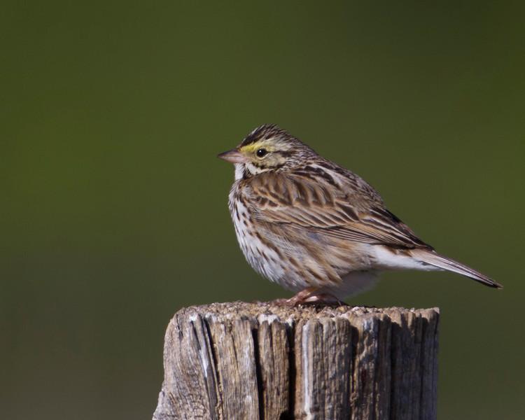 Savannah Sparrow (?) in Red Rock Lakes National Wildlife Refuge. June 18, 2010.