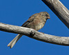 Juvenile Dark-eyed Junco in Targhee Forest. Aug 17, 2012