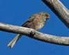 Juvenile Dark-eyed Junco in Targhee Forest. Aug 17, 2012