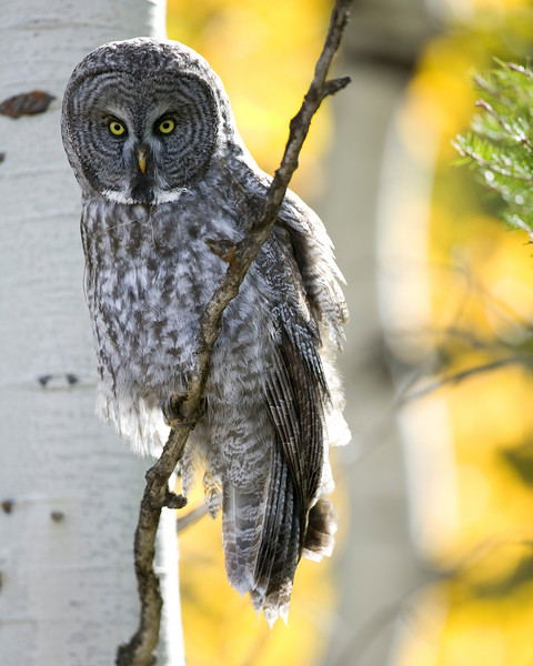Great Grey Owl (Strix nebulosa) in Aspens with fall colors. Red Rock Road. Idaho Sep 27, 2007