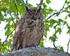 Great Horned Owl (Bubo virginianus)  near Oak Creek and Cornville, AZ. April 2011