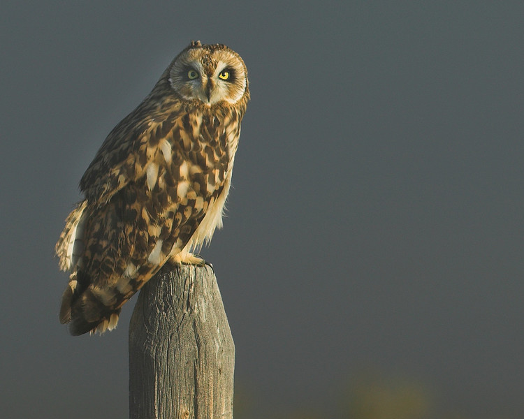 Short-eared Owl (Asio flammeus) in Red Rock Lakes National Wildlife Refuge, Montana, Sep 2007.