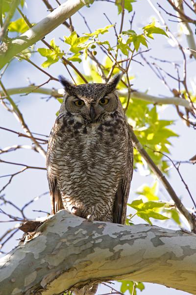 Great Horned Owl along Oak Creek trail, Arizona. April 2011