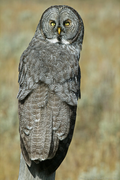 Great Grey Owl in (Strix nebulosa) Sawtelle Meadows, near Henry's Lake, Idaho. (Right outside of RedRock RV Park near Island Park, ID) (Print 8 x 12 or 16 x 20)
