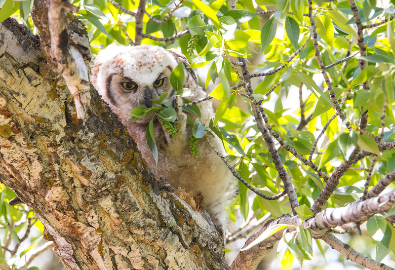 Great Horned Owl chick in Yellowstone