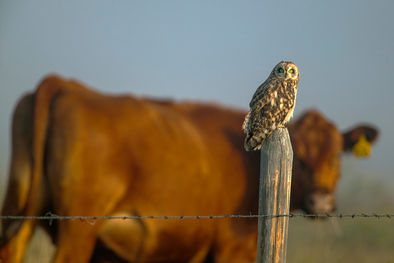 Short-eared Owl and cow
