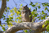 Great Horned Owl (Bubo virginianus) along Oak Creek trail, Arizona. April 2011