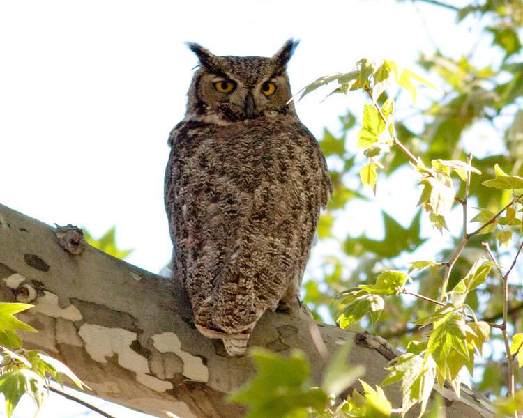 Great Horned Owl (Bubo virginianus) along Bird Trail near Cornville AZ fish hatchery. April 16, 2011