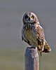 Short-eared Owl at Red Rock Lakes National Wildlife Refuge. July 12, 2010.