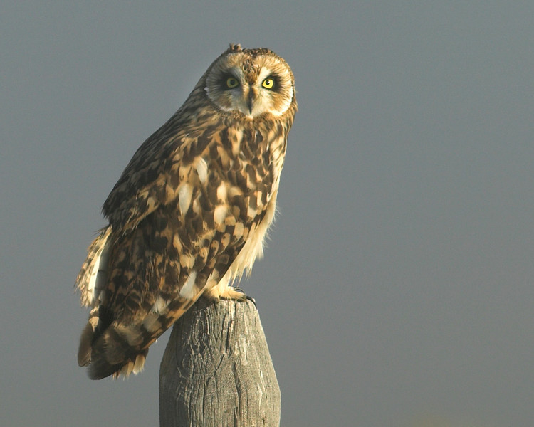 Short-eared Owl (Asio flammeus)  in Red Rock Lakes National Wildlife Refuge. Sep 2007