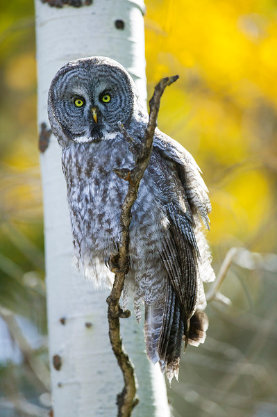 Great Grey Owl and Aspens in Fall