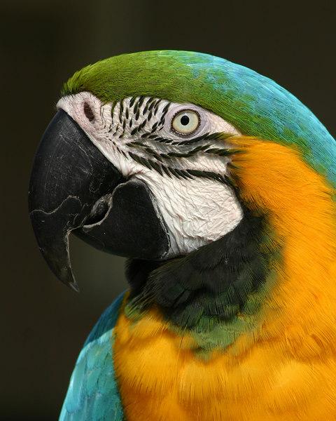 Tic-Toc Amazon Parrot