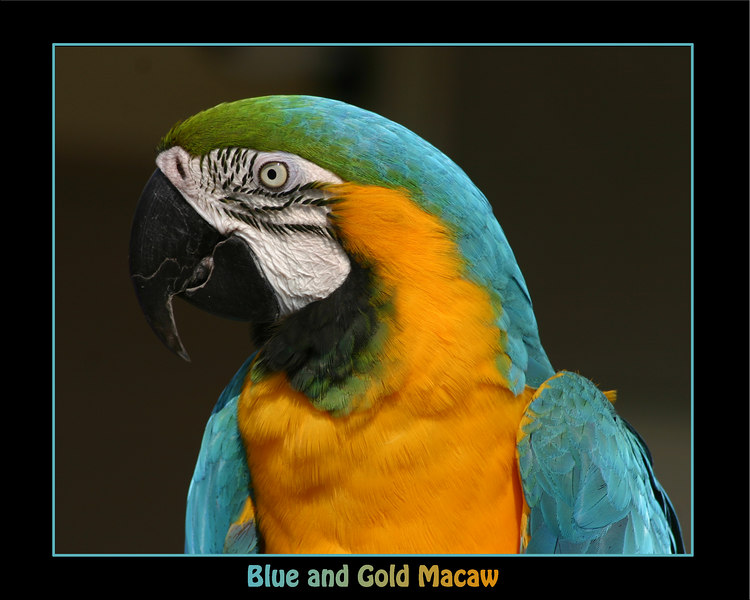 Tic-Toc, a blue and gold Macaw.