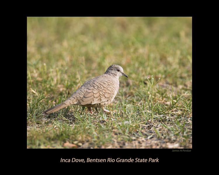 Inca Dove at Bentsen Rio Grande Valley State Park, April 5, 2007.