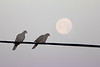 Ring-necked Dove and Moon