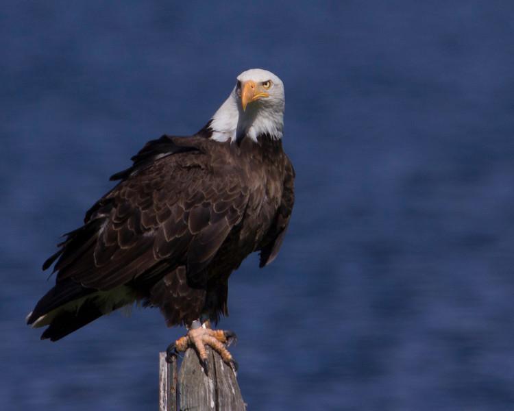 Bald Eagle (with band)