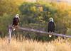 Bald Eagle Pair at Widgeon Pond