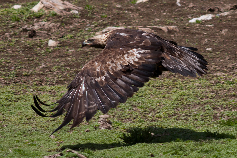 Golden Eagle flying along the ground after picking up a morsel of food (a mouse) along the Idaho/Montana Continental Divide on June 3, 2012.