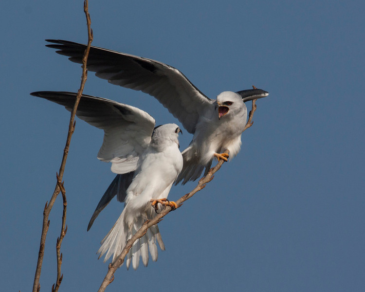 White-tailed Kites (Elanus leucurus) on the Delta Loop of Brannon Island near Isleton, CA. Dec 11, 2012
