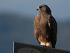 Swainsons Hawk, RedRock RV Park, Island Park, Idaho, June 26, 2010