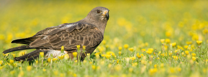 Swainson's Hawk searching for worms in the Dandelions at RedRock RV Park, in Island Park, Idaho. June 16, 2008