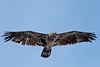 Juvenile Bald Eagle flying near south shore of Henry's Lake, Idaho. May 19, 2011.