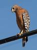 Red-shouldered Hawk near Isleton, CA