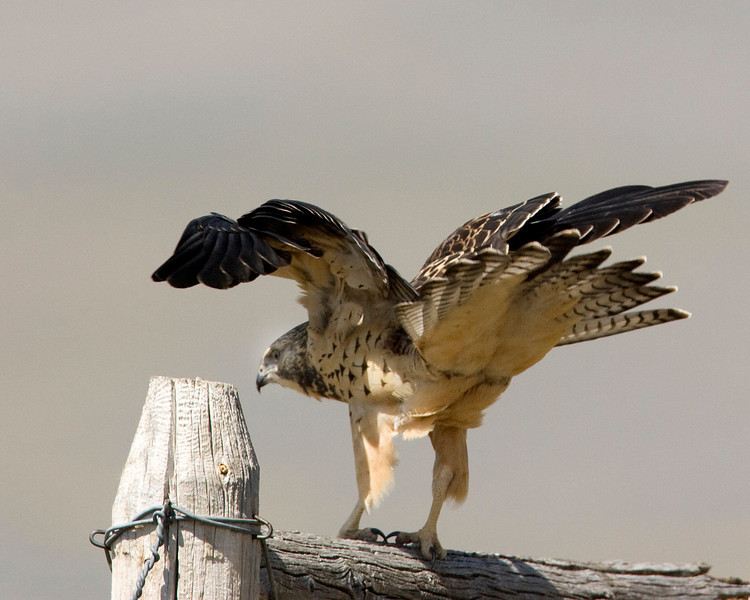 Swainson's Hawk ready for flight. Red Rock Lakes National Wildlife Refuge. August 2009