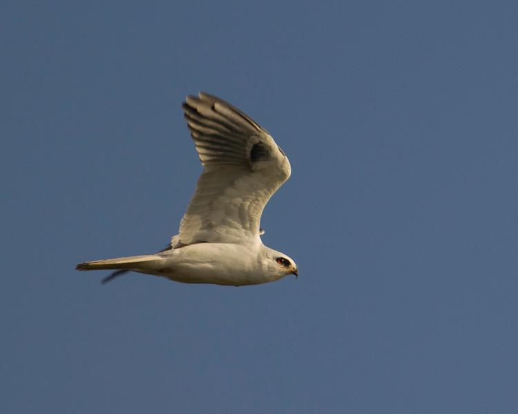 White-tailed Kite flying (Elanus leucurus) on the Delta Loop of Brannon Island near Isleton, CA. Dec 11, 2012