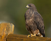 Swainson's Hawk, Island Park, Idaho at RedRock RV Park. Sep 14, 2010.