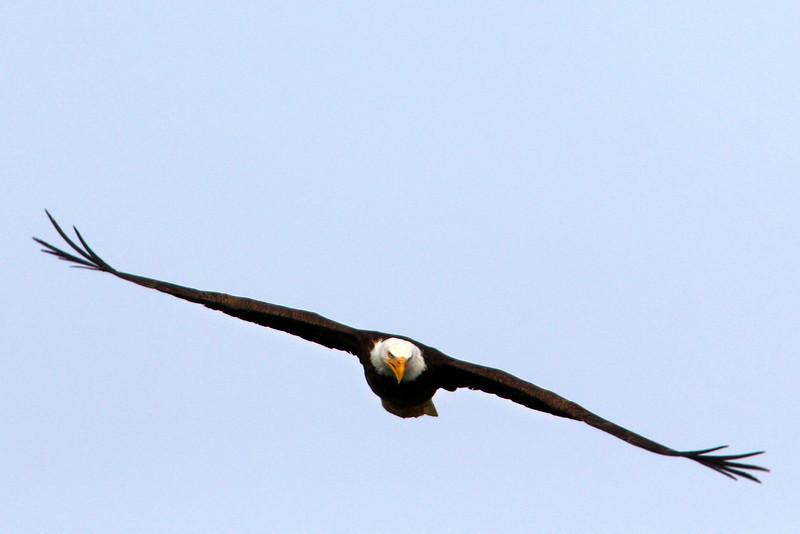 Bald Eagle flying at Henry's Lake, Idaho.