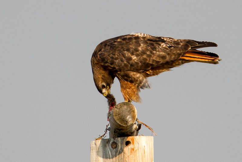 Red-tailed hawk is lunching on a small rodent along South Centennial Valley road in Montana. Aug, 13, 2012.