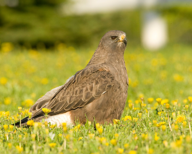 Swainson's Hawk rooting for worms in the dandelions in Island Park, Idaho, June 16, 2008.
