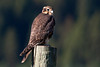Prairie Falcon (Falco mexicanus) sitting on fence post at south side of Henry's Lake, Idaho. July 9th, 2012.