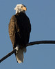 Bald Eagle perching above the Madison River in Yellowstone Nat'l Park. Sep 15, 2008