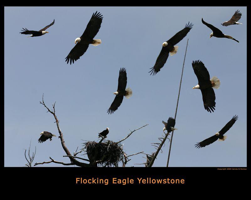 One Eagle flocking at Yellowstone.
