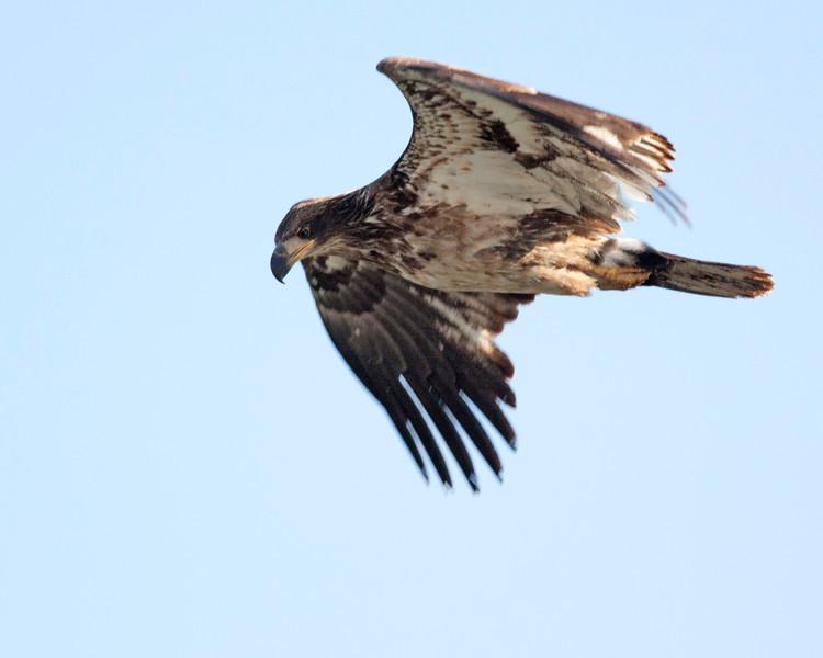 Juvenile Bald Eagle flying over Henry's Lake, Idaho. May 2011