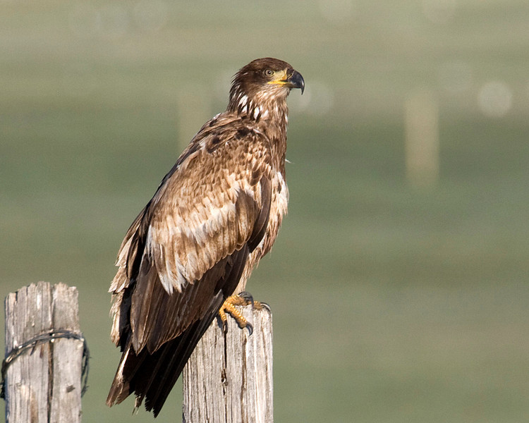 Juvenile Bald Eagle (1 year) on fence post near RedRock RV Park in island Park, Idaho. May 27, 2009