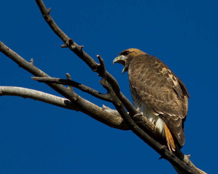 Red-tailed Hawk (Buteo Jamaicensis) along the Verde River bottom in Camp Verde, AZ. Apr 4, 2011