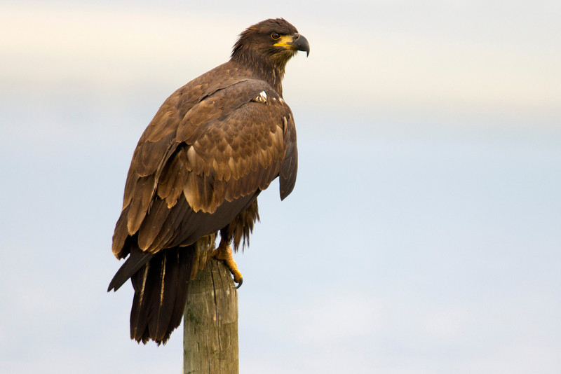 Juvenile Bald Eagle on west side of Henry's Lake in isolated area near the water. Aug 7, 2012