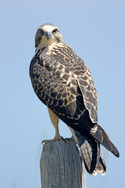 Beautiful plumage of the Swainson's Hawk along Red Rock Road, Island Park, Idaho. August 2009