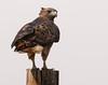 Red-tailed Hawk Isleton, CA