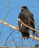 Common Black Hawk in tree near Verde River, in Camp Verde, Arizona. March 21, 2010.