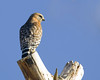Red-Shouldered Hawk in Silent Valley, near Banning, CA.